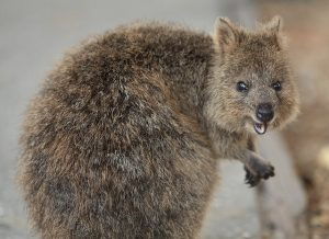 Auf Rottnest Island gibt es Quokkas