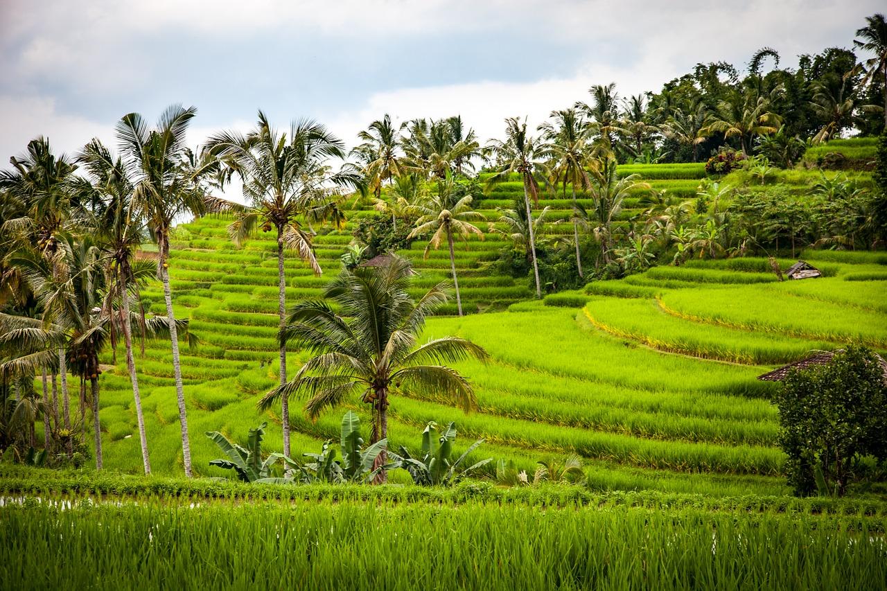 Ubud Reisterrassen auf Bali