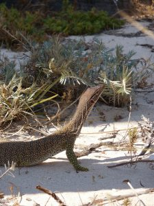 Eine Eidechse im Cape Range Nationalpark
