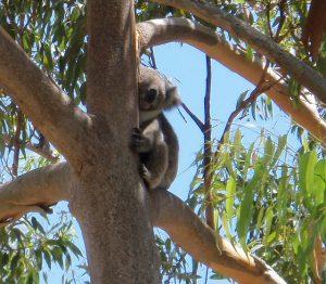 Yanchep Nationalpark Koala auf Baum