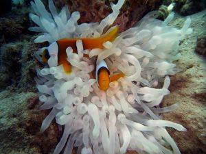 Clownfische vor einer Seeanemone im roten Meer