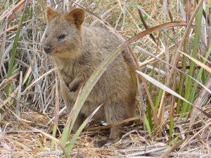 ein quokka auf rottnest island in australien