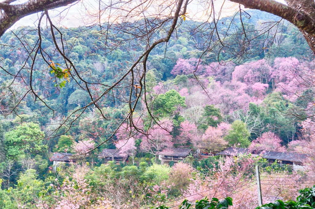 pink flower trees im doi suthep national park
