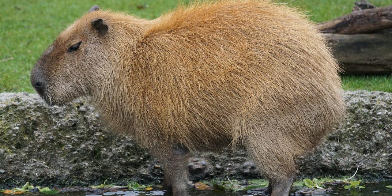 Die Wasserschweine von Villarrica